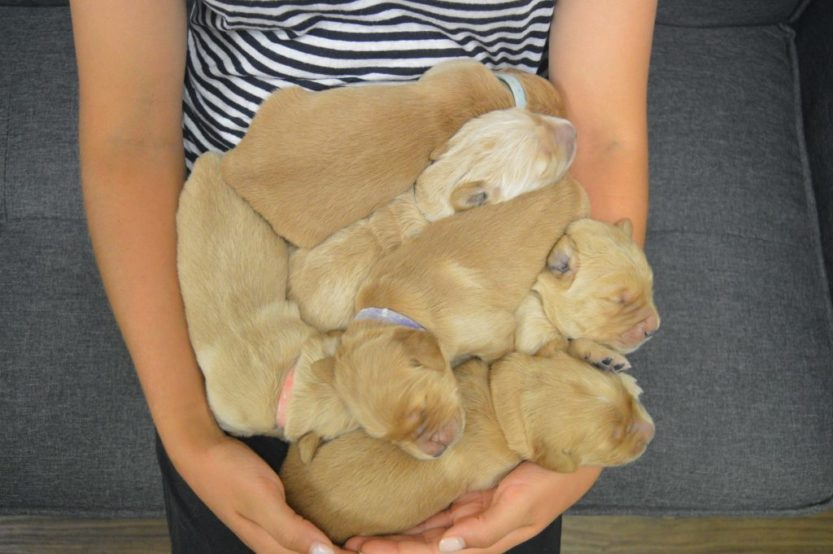 an arm full of puppies