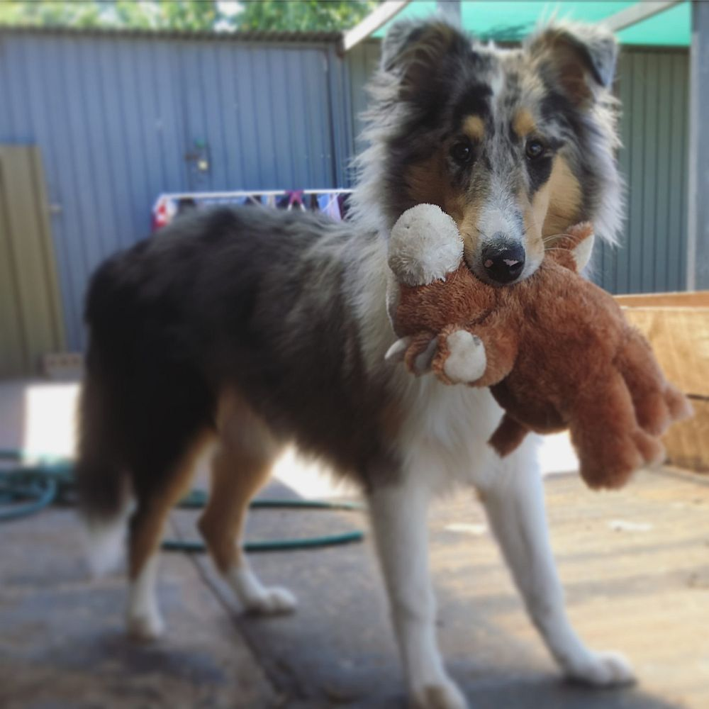 charlie the collie and his bear