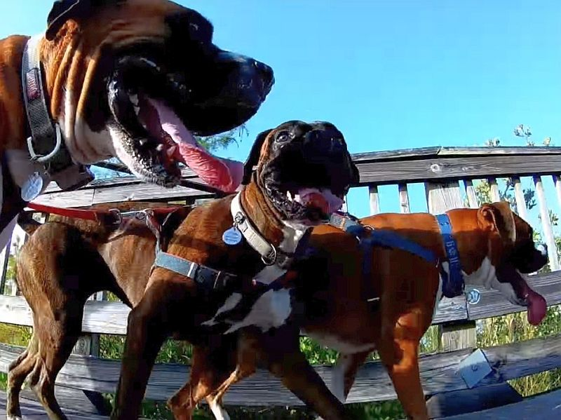 crazy boxer dogs invading the park