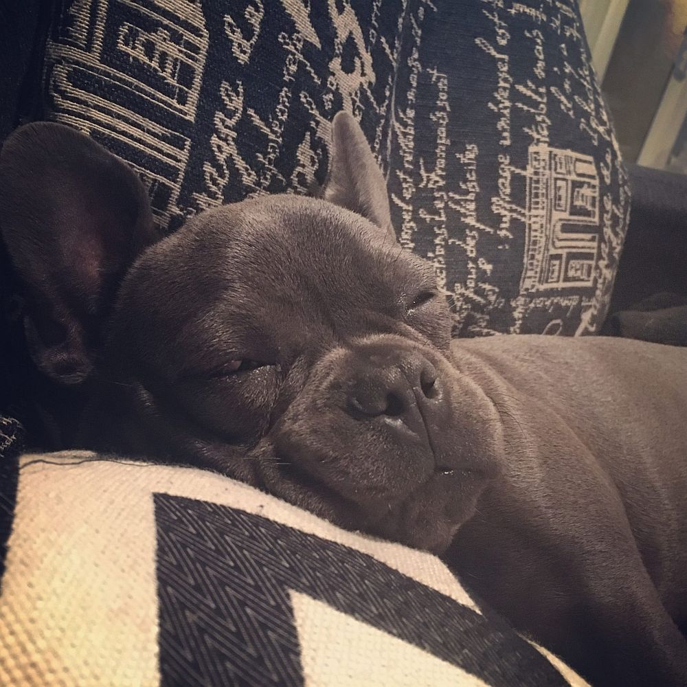 levi the frenchie taking a nap