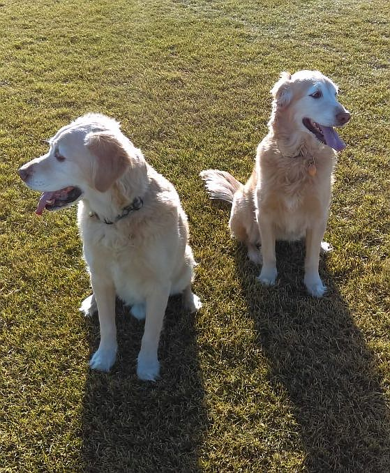 two goldens in the yard