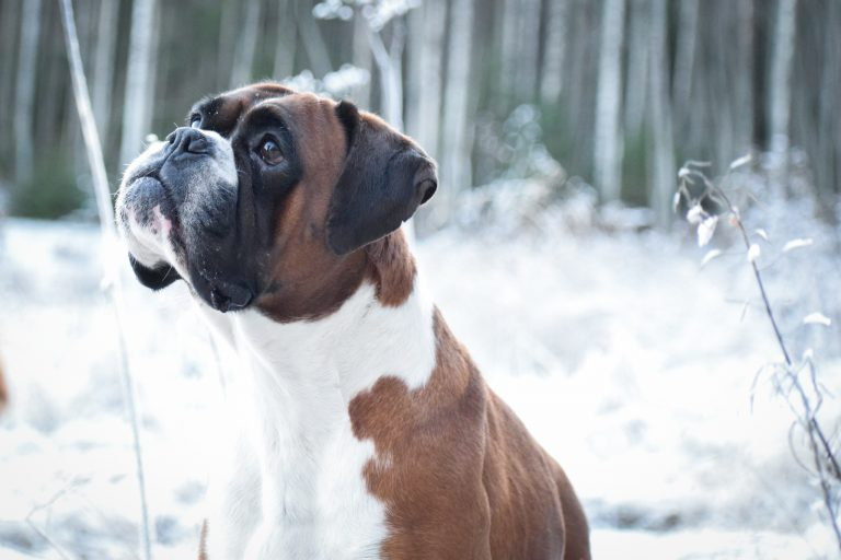 boxer dog in the snow