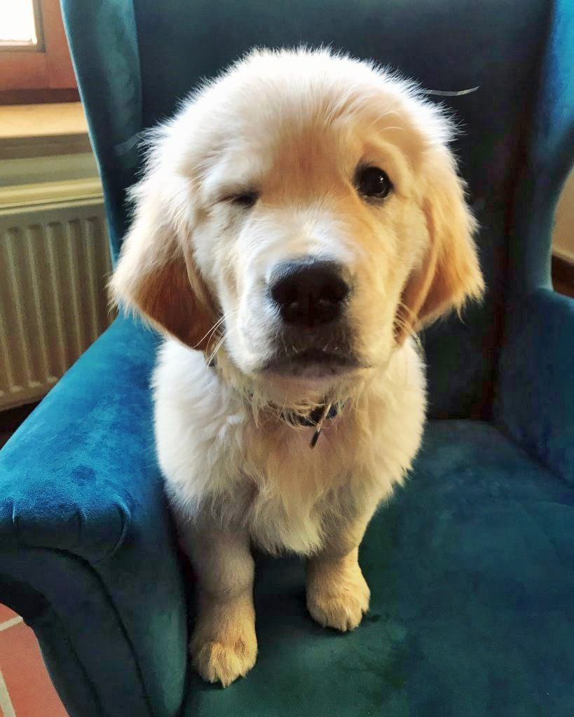 cute golden puppy picture