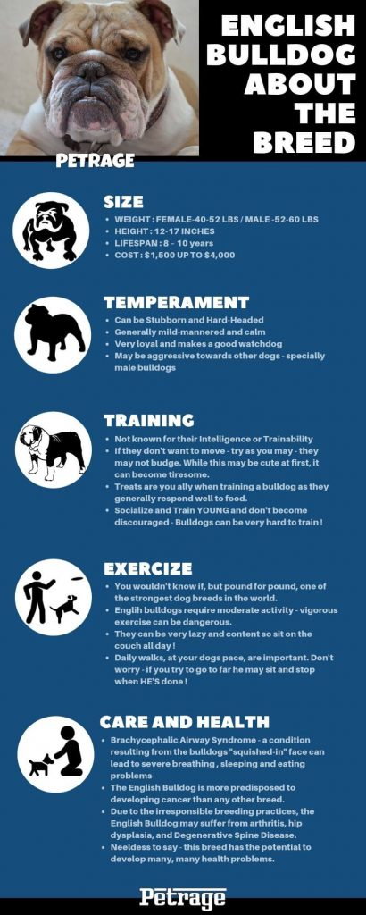 english bulldog about the breed infographic petrage
