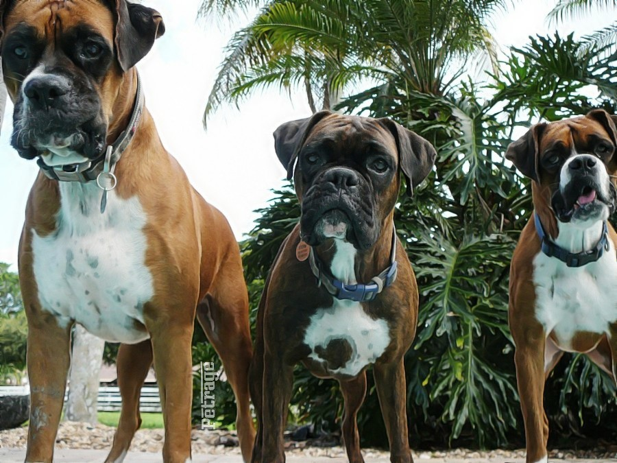 hree bad boxer dogs the boxer squad on petrage (2)