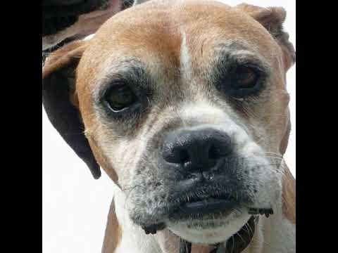 boxer dog morph puppy into old girl