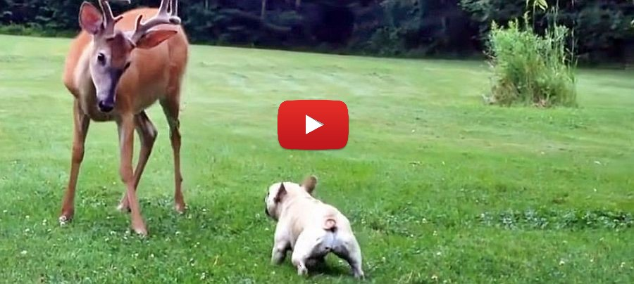 french bulldog and deer video