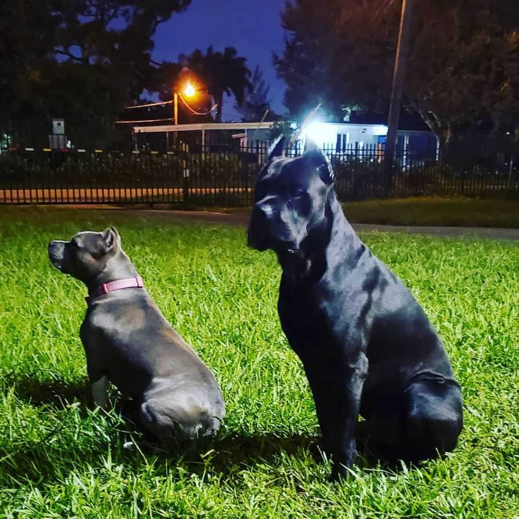 amstaff and cane corso in the yard (2)