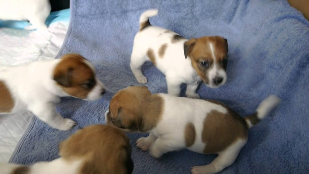 Purebred Jack Russell Puppies - 3 Weeks Old