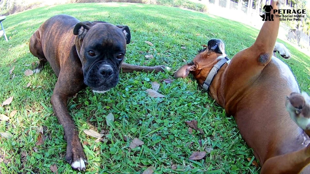 Twigs, Sticks and Boxer Dogs video