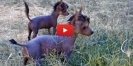 tiny mexican hairless puppy video