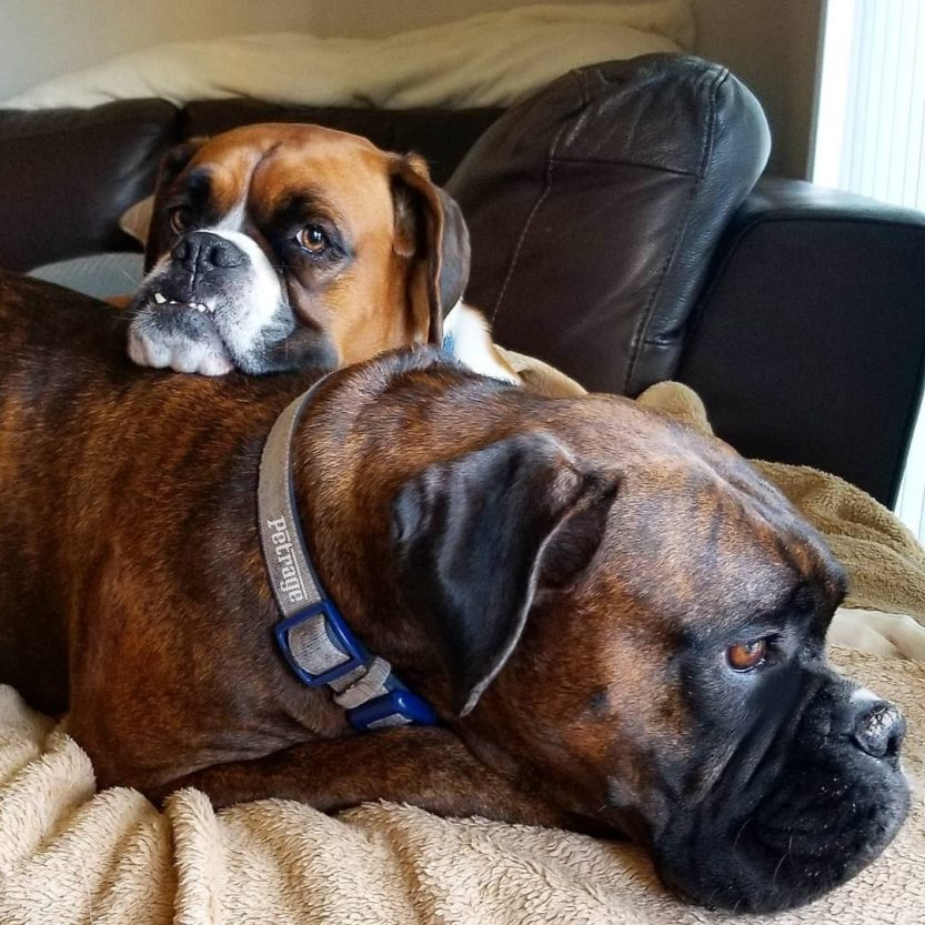 two boxer dogs chilling storm and sparks