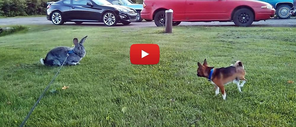 Giant Flemish Rabbit and Tea Cup Chihuahua Playing-VIDEO