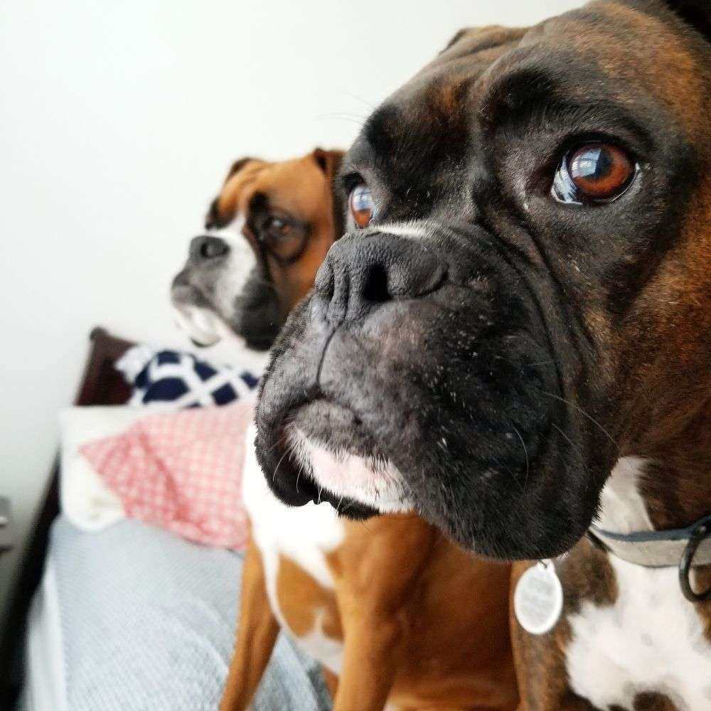boxer dogs on petrage picture sparks and storm