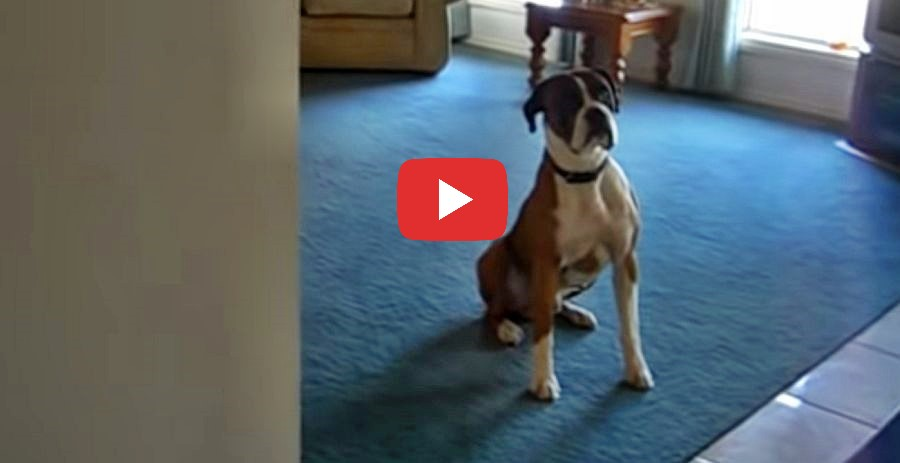 boxer dogs super excited raction video