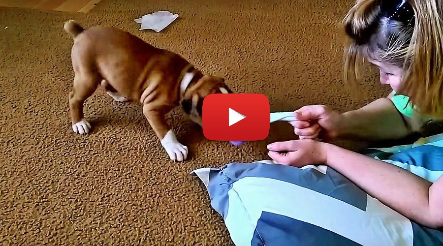 boxer puppr playing with sock video