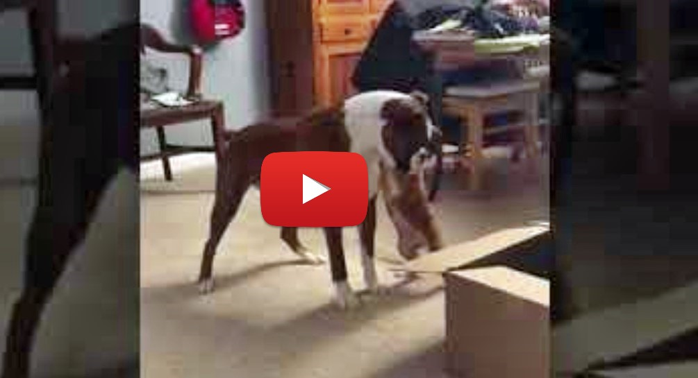 boxer puppy in a box