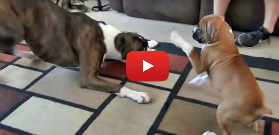 boxer puppy playing