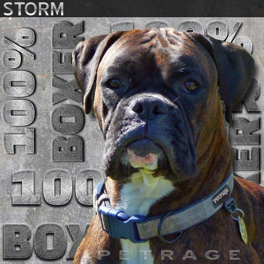 storm is 100 boxer dog
