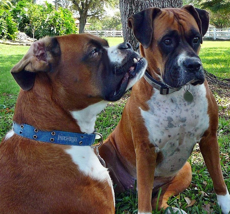 boxer dog brother and sister