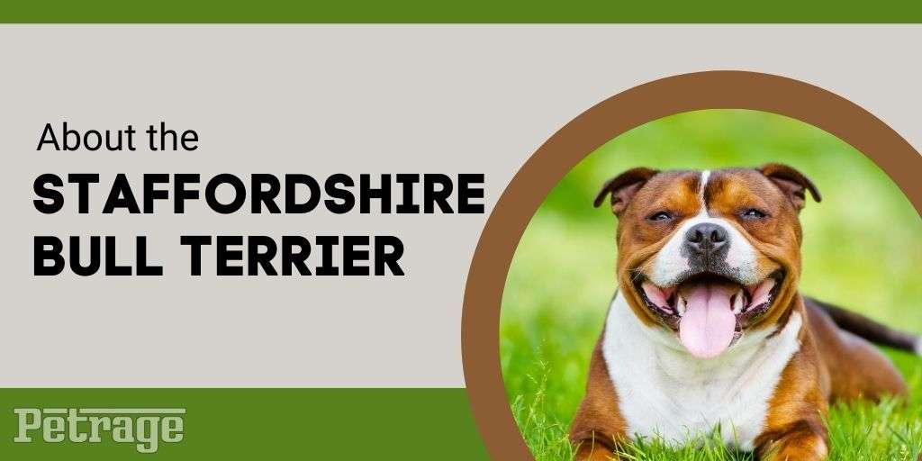 about the staffordshire terrier dog breed infographic petrage