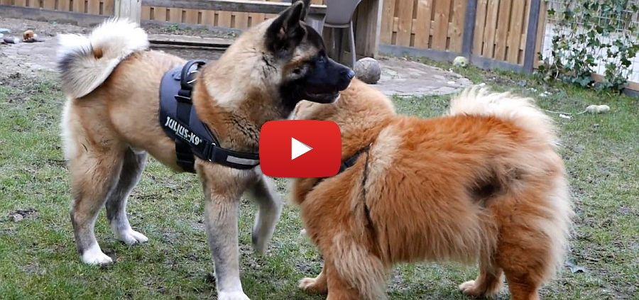 akita and chowchow video
