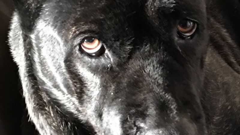 big dog looking at you picture