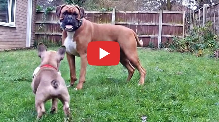 boxer dog and french bulldog playing in the yard video