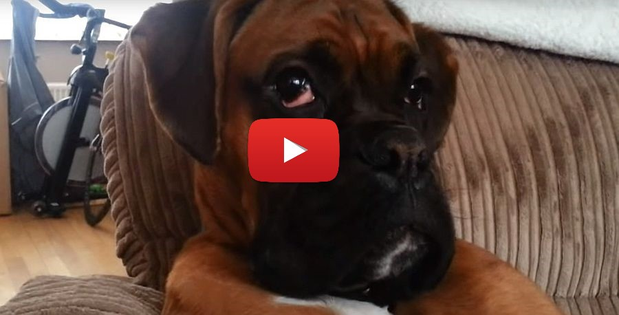 boxer dog master of chill