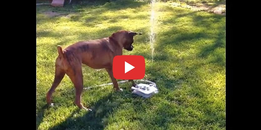 boxer dog water fountain video