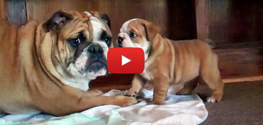 bulldog puppy putting big dog in his place video