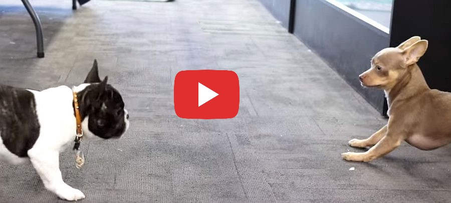 chihuahua puppy and french bulldog video