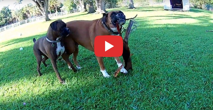 crazy boxer dogs forget the yardwork video