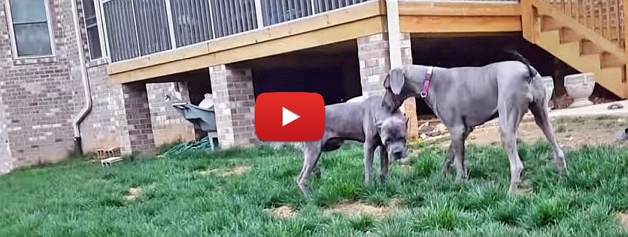great dane and cane corso video