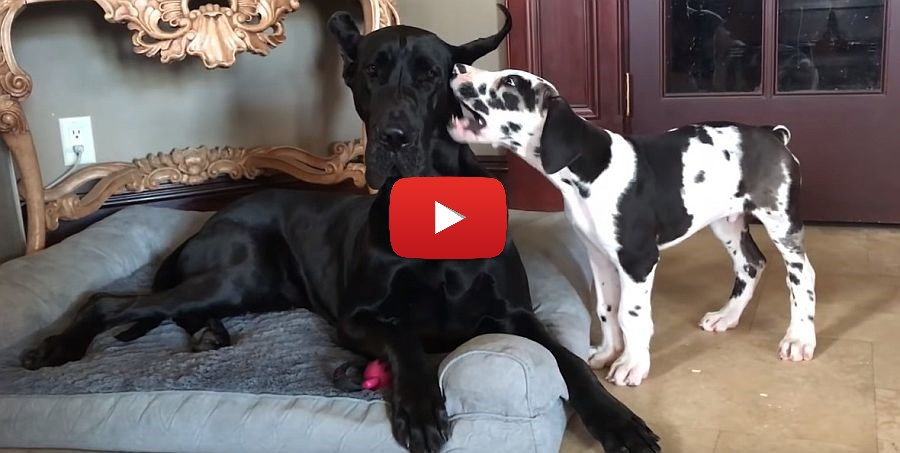 great dane puppy keeps bothering