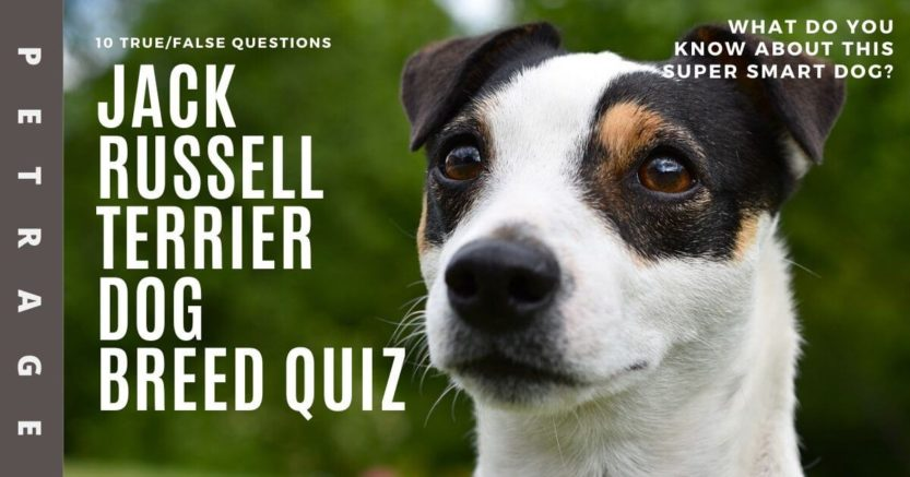 jack russell terrier dog breed quiz petrage (1)