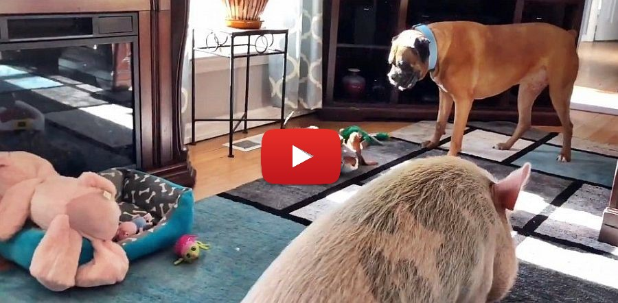 pig boxer and dachshund video