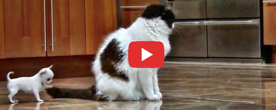 teacup chi and cat video