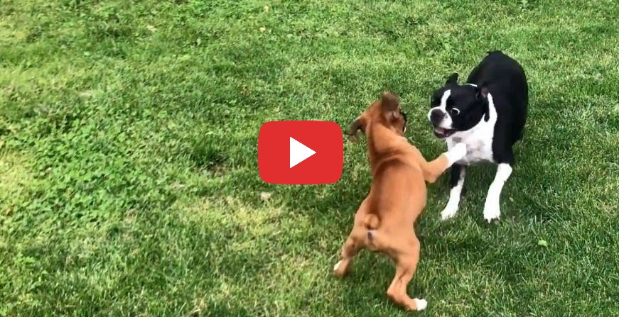 tiny boxer puppy playing with boston terrier