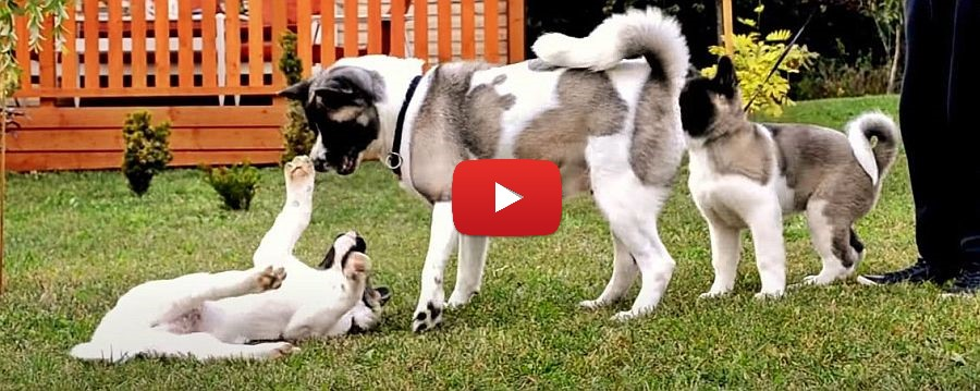 American Akita puppies playing with their mom video