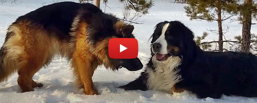 Bernese Mountain Dog and German Shepherd playing in the snow video