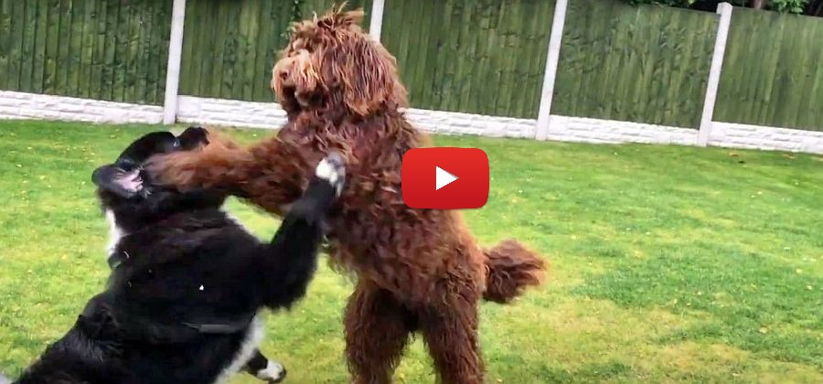 Newfypoo takes on Max the Newfoundland video