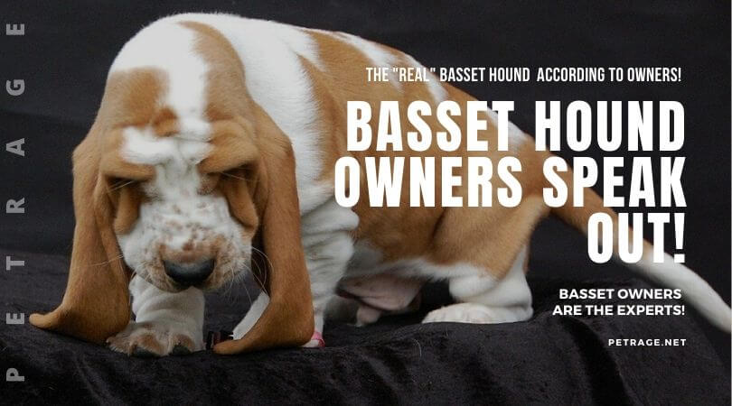 basset hound owners speak out the real experts petrage