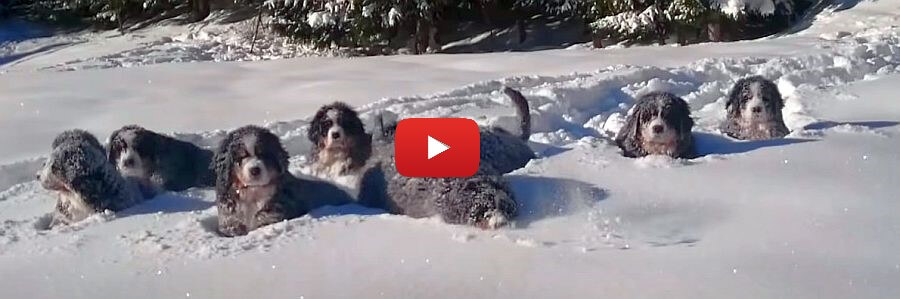 bernese mountain dogs in the snow video
