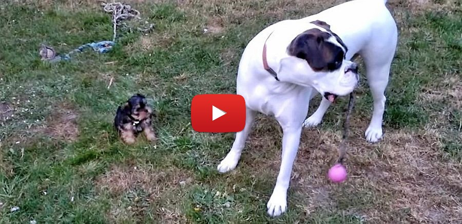 big boxer dog playing with tiny yorkie puppy