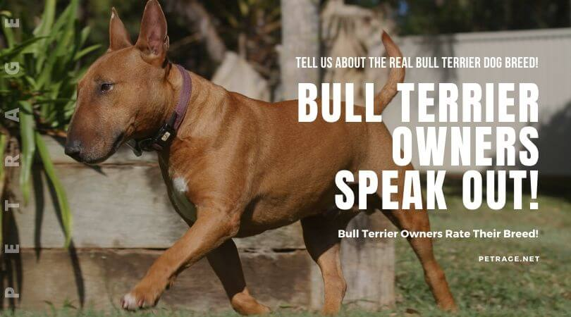 bull terrier owners speak out petrage dogbreeds