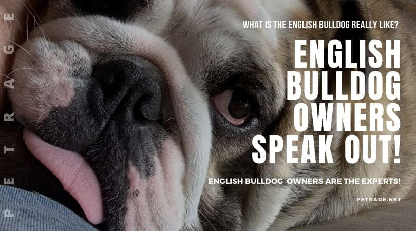 english bulldog owners speak out the real experts petrage