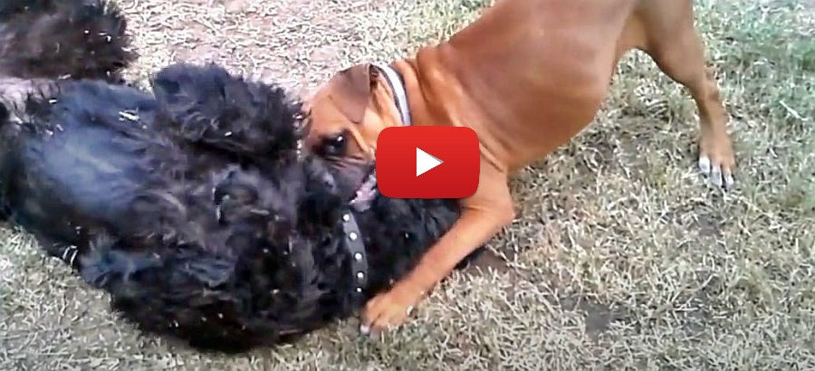 giant schnauzer and boxer puppy playing video