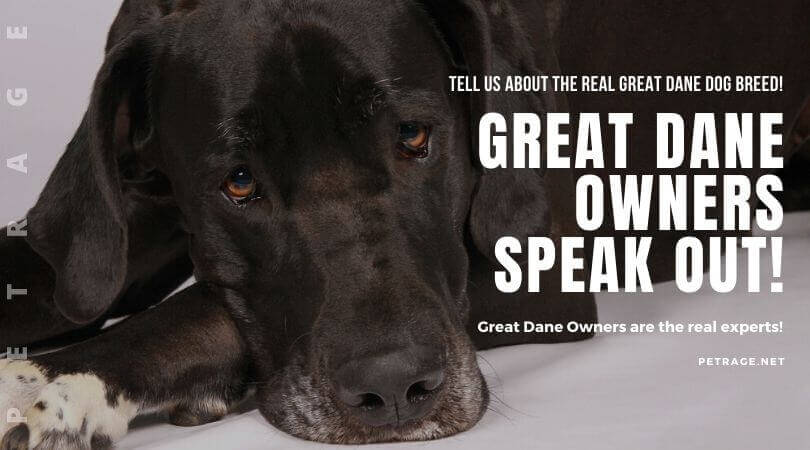 great dane owners speak out petrage dogbreeds (1)