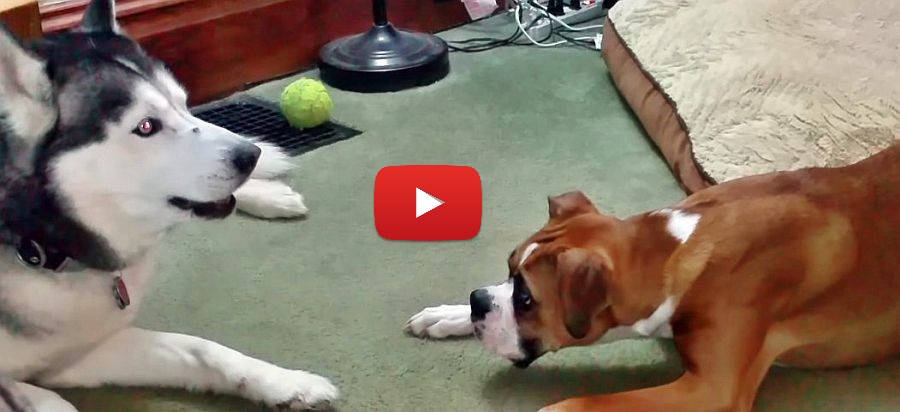 husky and boxer puppy conversation video